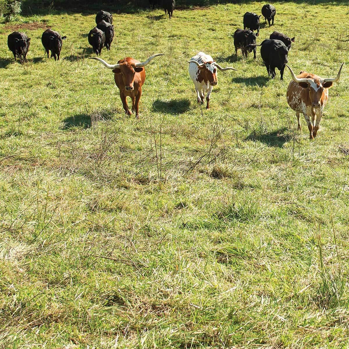 Cattle at Senterfitt Farms